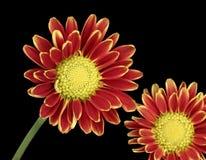 chryzantem czerwieni kolor żółty Zdjęcia Stock