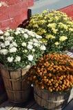 Chryzantem flowerpots Fotografia Stock
