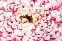 Chryzantem menchii kwiat Zdjęcie Royalty Free
