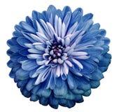 Chryzantema błękitny kwiat Na białym odosobnionym tle z ścinek ścieżką Zbliżenie żadny cienie Ogrodowy kwiat zdjęcie stock