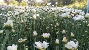 Chryzantema biały kwiat Fotografia Stock