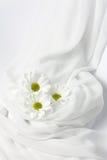 chryzantema biel trzy Zdjęcie Stock