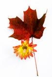 Chryzantema i czerwień liść klonowy Zdjęcie Stock