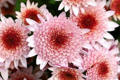 Chryzantema kwiatów menchii kwiatu grupa Fotografia Stock