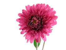 chryzantema kwiat Obraz Stock