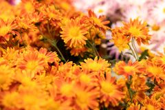 Chryzantema kwiat obrazy royalty free