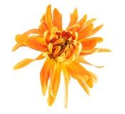 Chryzantema kwiat Zdjęcia Royalty Free