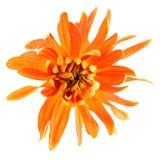 Chryzantema kwiat zdjęcie stock