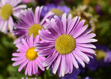 Chryzantema kwiat makro- obraz royalty free