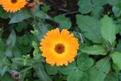 Chryzantema kwiat po wiosna deszczu obraz stock