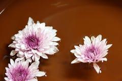 Chryzantema kwiat w purpurowy i biały koloru unosić się obrazy stock