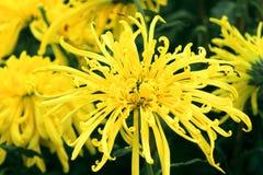 Chryzantema kwiatu energia Obraz Royalty Free