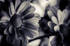 Chryzantema kwiatu monochrom obrazy stock