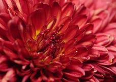 chryzantema kwiaty Obraz Royalty Free