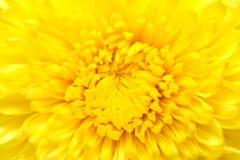 chryzantema kwiaty Zdjęcia Royalty Free
