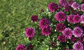 Chryzantema kwitnie na zielonym tle Fotografia Stock