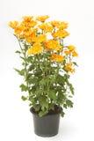 Chryzantema Kwitnie w kwiatu garnku obraz royalty free