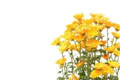 Chryzantema Kwitnie w kwiatu garnku zdjęcia stock