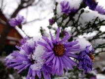 Chryzantema pod śniegiem - zima kwitnie (Ñ… ризаР½ Ñ 'ÐΜÐ ¼ а) Obrazy Royalty Free