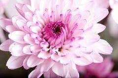 Chryzantema purpurowy kwiat Zdjęcie Royalty Free