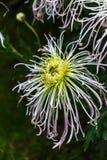 Chryzantema purpurowy kwiat Zdjęcie Stock