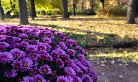 Chryzantema w jesień parku Obraz Stock