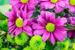 Chryzantemy, świeża wibrująca purpura i zieleni kwiaciarnia, kwitną Zdjęcia Royalty Free