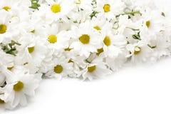 chryzantemy biały Zdjęcie Royalty Free