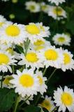 chryzantemy biel kolor żółty Zdjęcia Royalty Free