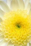 chryzantemy biel kolor żółty Obrazy Stock