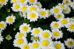 chryzantemy biel kolor żółty Zdjęcie Royalty Free