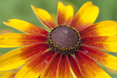 chryzantemy czerwieni kolor żółty Obraz Stock