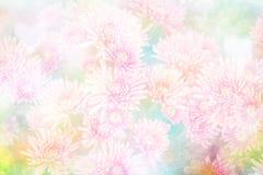 Chryzantemy dla kwiatu tła Zdjęcie Royalty Free