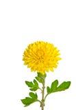 chryzantemy jeden bogaty kolor żółty Fotografia Royalty Free