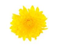 chryzantemy kolor żółty Fotografia Stock