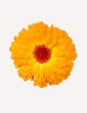 chryzantemy kolor żółty Obraz Stock