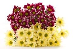 chryzantemy kolor żółty Zdjęcie Stock