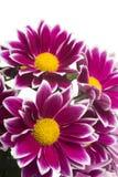 chryzantemy kwiatów odosobniony czerwony biel Zdjęcie Stock