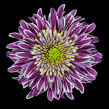 chryzantemy kwiatu odosobniony purpurowy biel Fotografia Royalty Free
