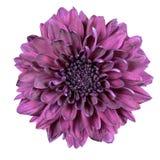 chryzantemy kwiatu odosobniony purpurowy biel Obrazy Stock