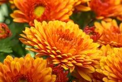 chryzantemy kwiatu pomarańcze Obrazy Royalty Free