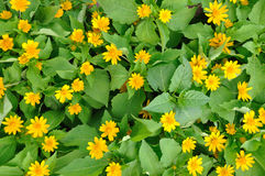 chryzantemy kwiatu wzoru kolor żółty obraz royalty free