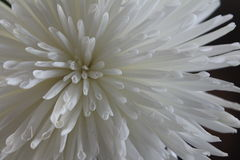 Chryzantemy morifolium zdjęcie stock