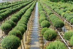 Chryzantemy morifolium jest dzielnicowe specjalność w Sa Dec mieście, sławny miejsce dla floriculture w Wietnam Kwiaciarnie p tut Zdjęcie Stock