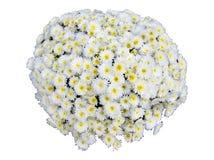 Chryzantemy Mum kwiat Odizolowywający Obraz Stock