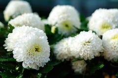 chryzantemy ogrodowy wiosna biel Obrazy Stock