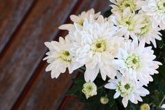 chryzantemy ogrodowy wiosna biel Obraz Royalty Free