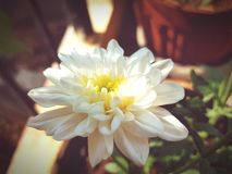 chryzantemy ogrodowy wiosna biel Fotografia Stock