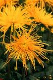 chryzantemy piękny kolor żółty Obraz Stock