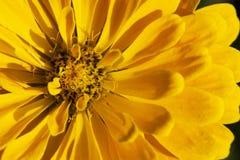 chryzantemy piękny kolor żółty Zdjęcie Stock